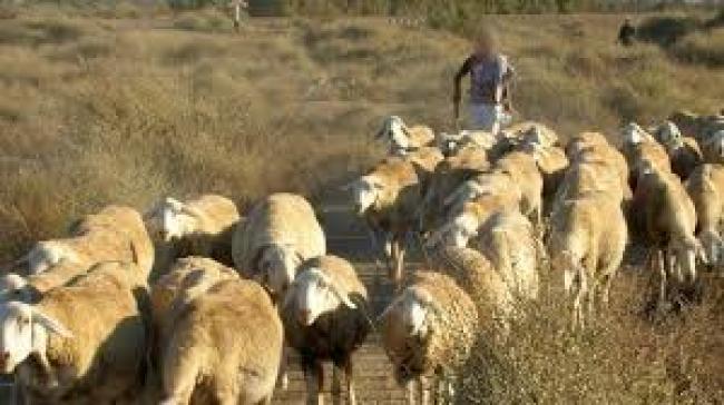 تفاصيل جديدة عن عملية ذبح الراعي في السلاطنية من جبل السلوم